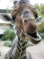 giraffe with an open mouth
