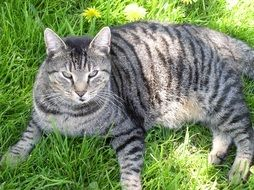 tabby cat sleeps on a flowering lawn