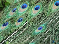 colorful Peacock tail Feathers close up