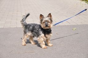 joyful yorkshire terrier