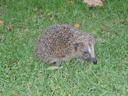 spiny hedgehog on green grass