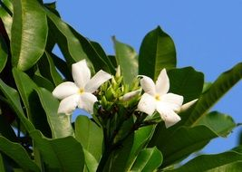 white flowering of sea mango close-up