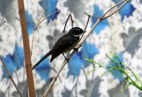 white-throated fantail flycatcher in dharwad