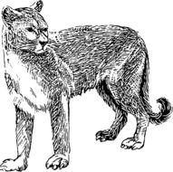 black and white drawing of a cougar on a white background