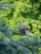 pigeon on fir branch
