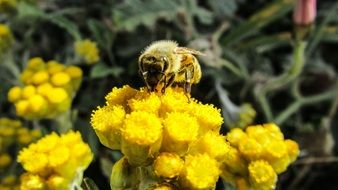 bee pollinating yellow flowers