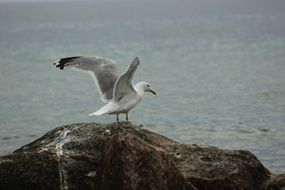 seagull on a large stone on the shore of the Baltic Sea