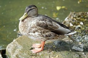 portrait of duck on a stone near the lake