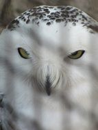 Portrait of Snowy Owl