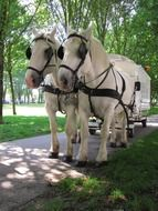 white horses are harnessed to a carriage
