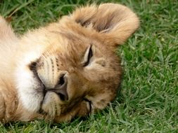 Sleeping lion on the grass
