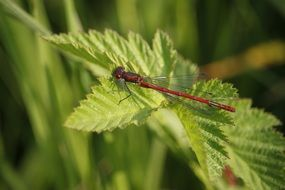 red dragonfly on green foliage close-up