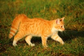 nosy red tabby kitten