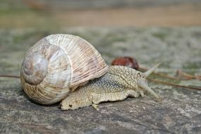 snail with a dense shell