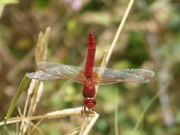 red dragonfly on a dry stalk