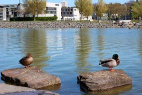 duck pair standing on the stones