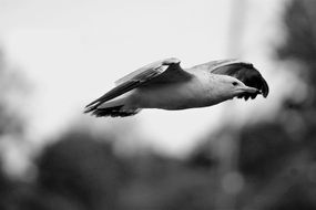 flying seagull in black and white