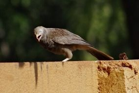 White-Headed Babbler on the fence