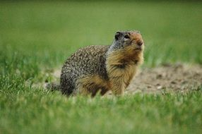 Ground Squirrel in a park