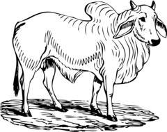 Ä°llustration of Brahman bull