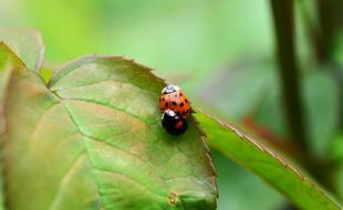 ladybugs mating on a green leaf