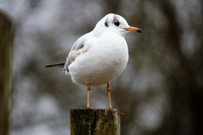 Black-Headed Gull Bird