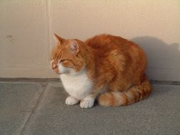 red purebred cat is sitting