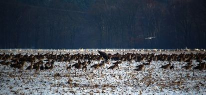 flock of wild geese in late autumn
