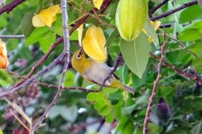 attractive Oriental white-eye bird