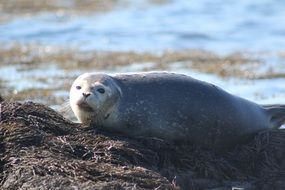 grey Seal lying on Harbor, canada, new brunswick, bay of fundy