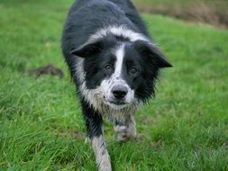 old border collie on green grass