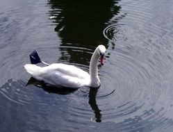 Mute white swan on a pond