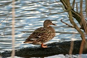 brown duck on a log in a pond
