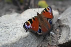 peacock butterfly on grey stone