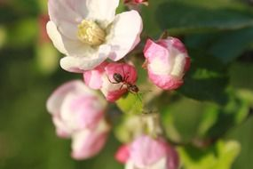 red Ant Climbing Apple Blossom