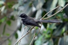 white-throated fantail flycatcher on the tree twig