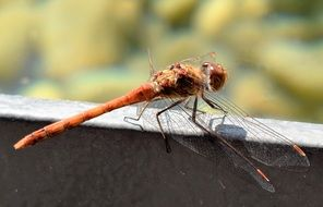 macro photo of red dragonfly in nature