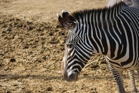 portrait of a striped African zebra