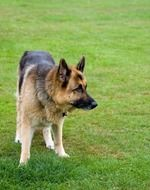 photo of German Shepherd on the meadow