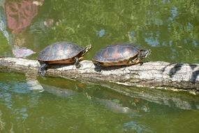 two turtles on the pond