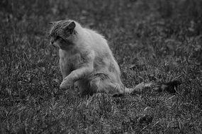 cat on the grass in black and white photo