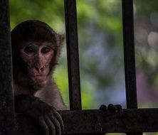 encaged monkey