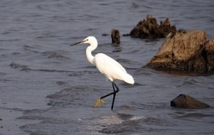 the little white egret is walking on the water