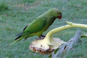 rose-ringed parakeet in wildlife