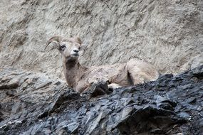 mountain goat is resting in a national park