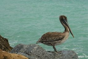Brown Pelican on a beach