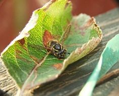 dangerous Wasp in dry leaf closeup
