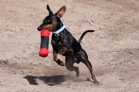 playful miniature pinscher