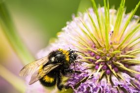 Hummel collects pollen