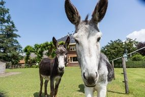 two donkeys at farm house, Netherlands